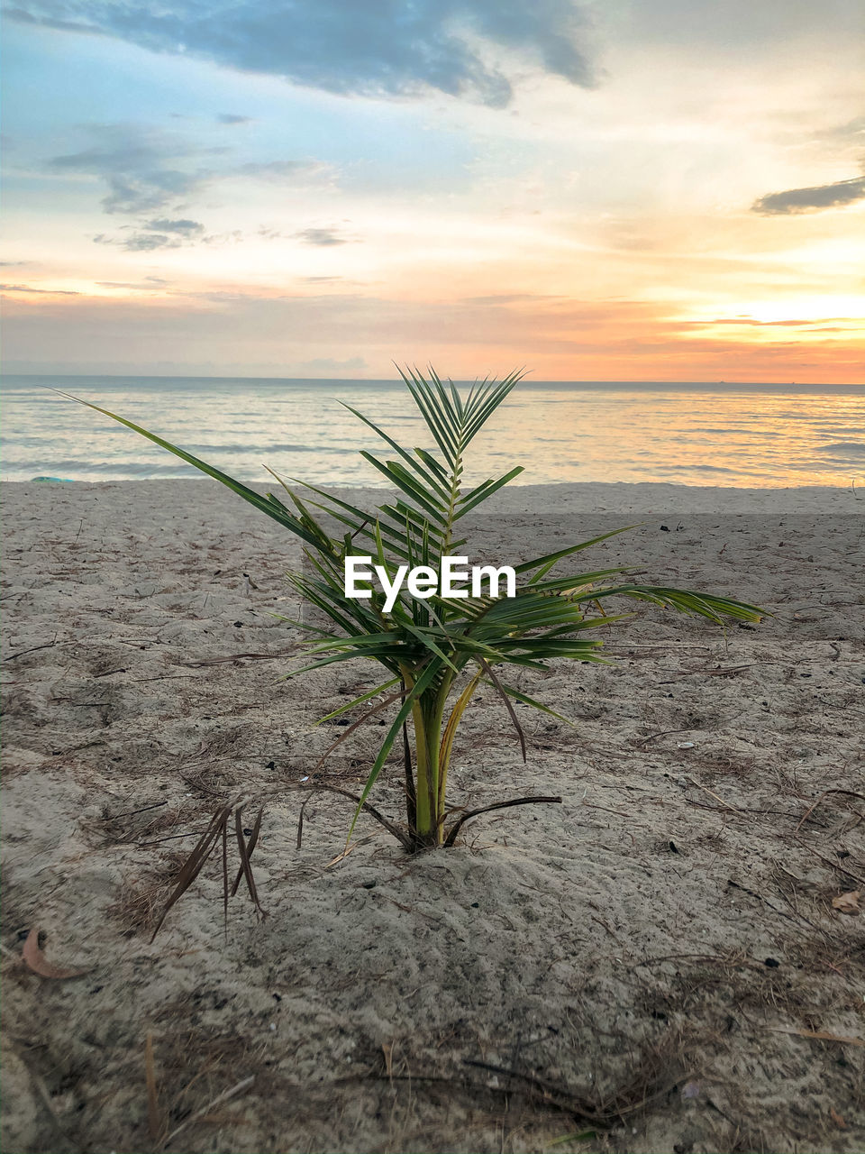 PLANT ON BEACH AGAINST SKY DURING SUNSET