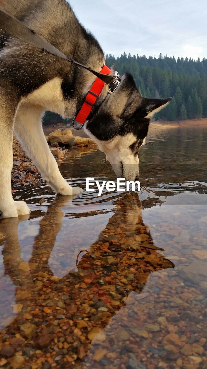 Side View Of Dog Drinking Water In Lake