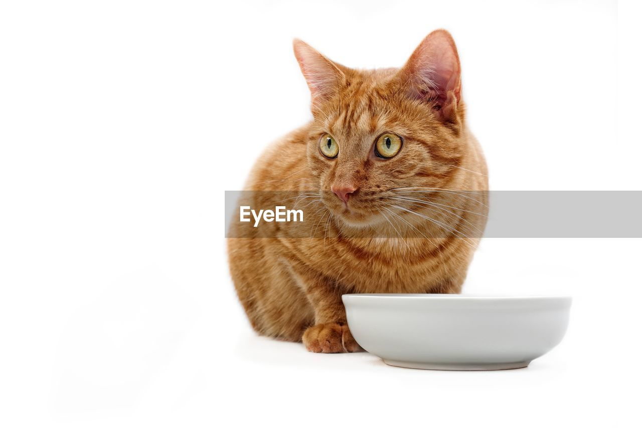 Close-up of cat looking away while sitting by bowl against white background