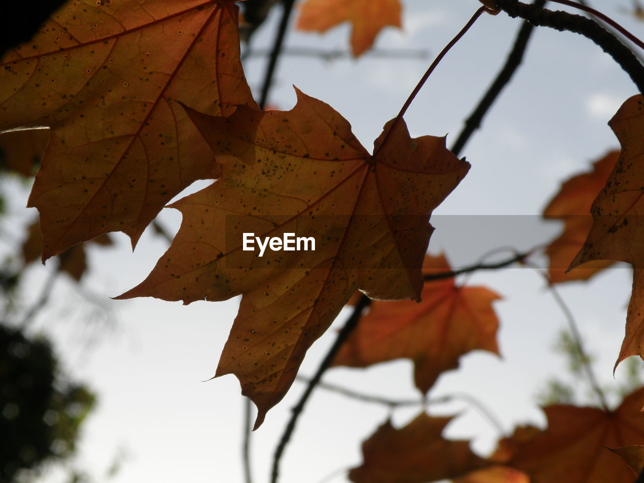 leaf, autumn, change, maple, maple leaf, day, focus on foreground, close-up, leaves, nature, outdoors, dry, beauty in nature, selective focus, no people, maple tree