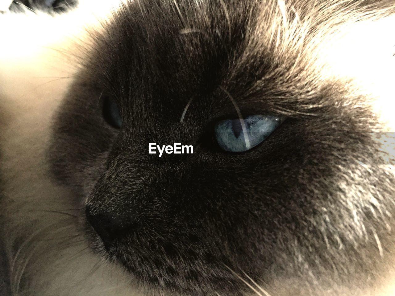 Close-up of himalayan cat looking away