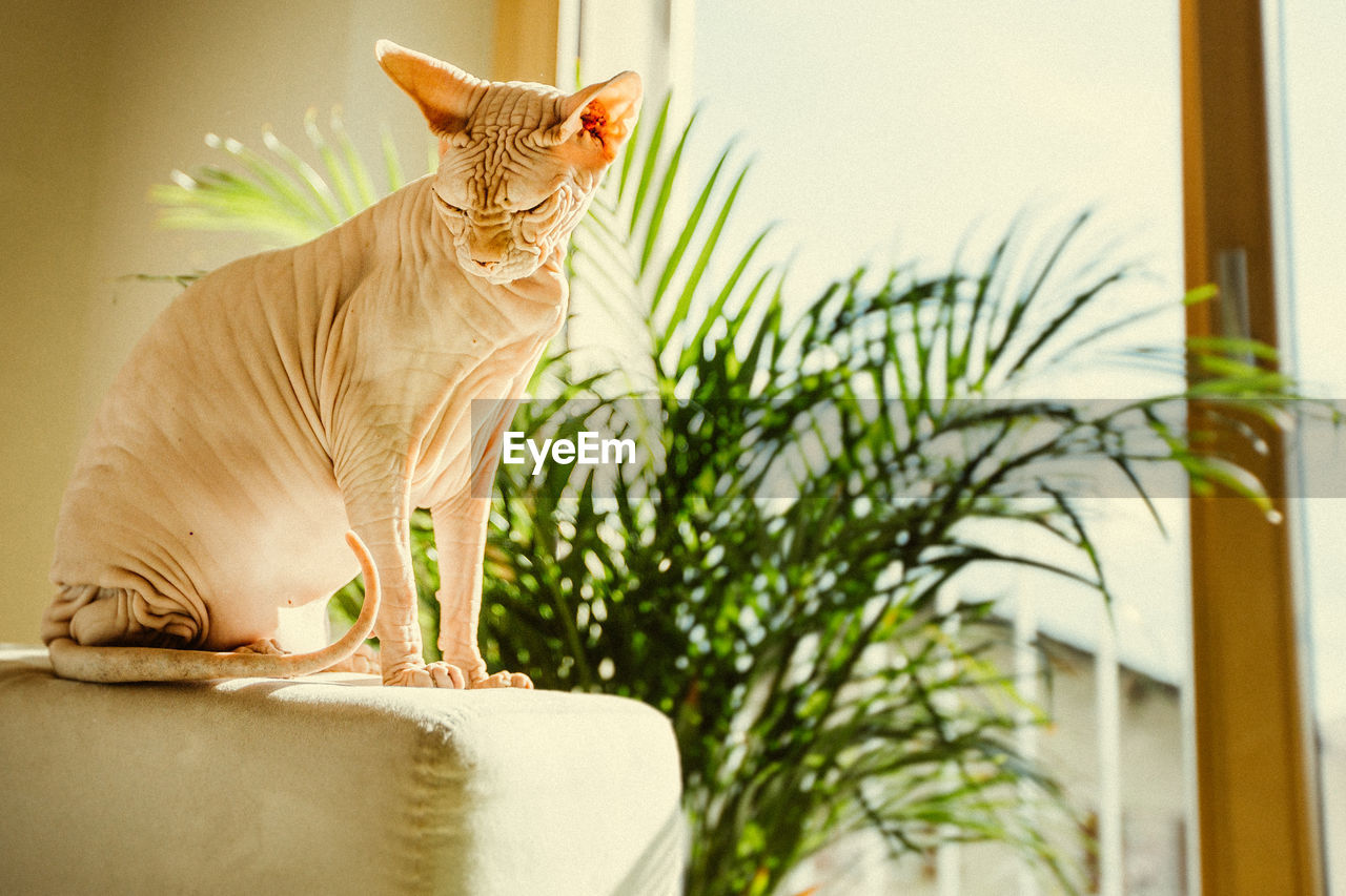 Close-up of sphynx hairless cat sitting on sofa