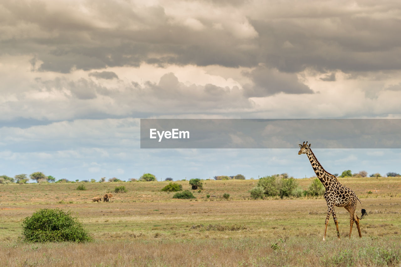 View Of A Giraffe On Landscape Against Cloudy Sky