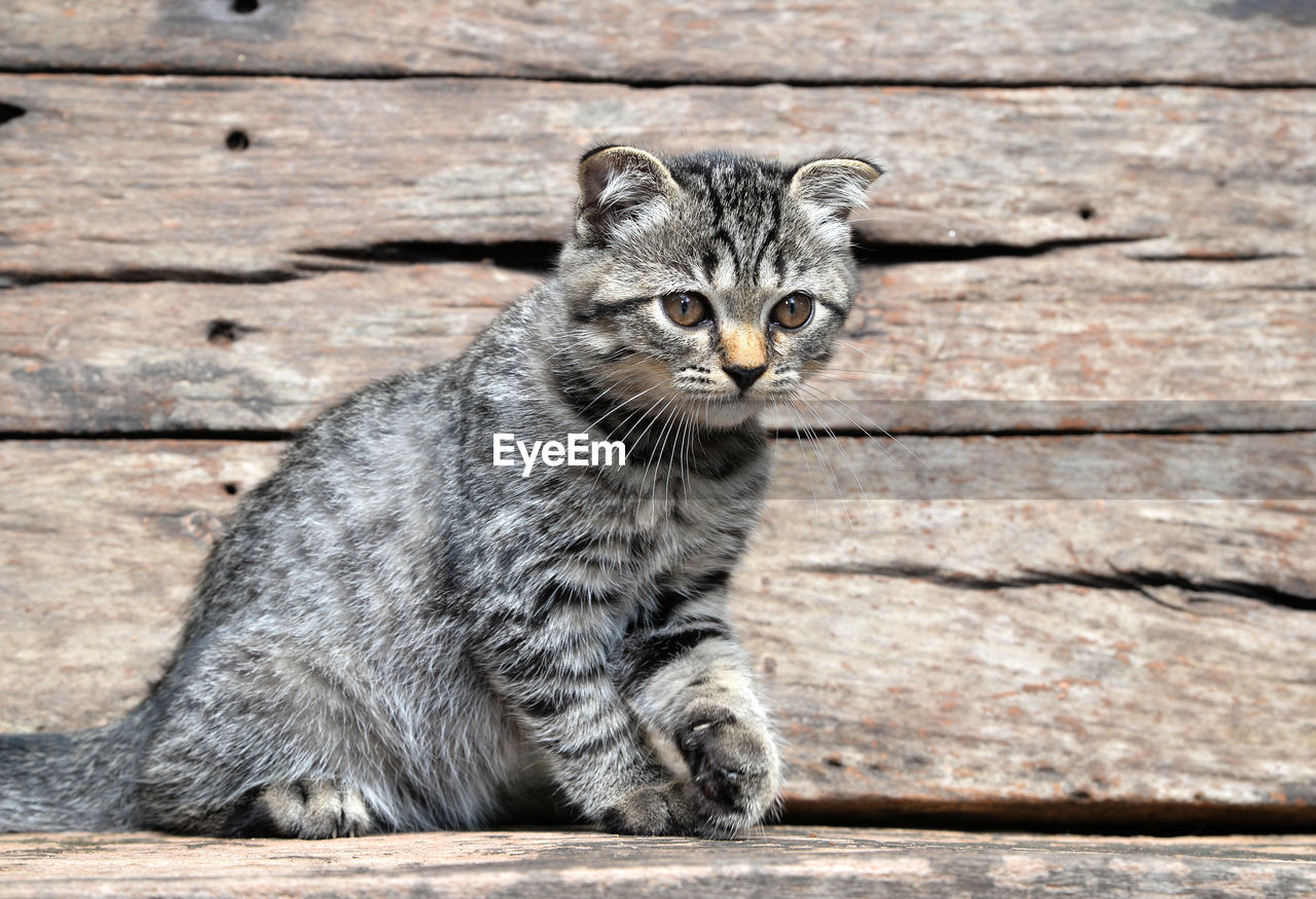 mammal, one animal, wood - material, portrait, cat, pets, looking at camera, feline, domestic, domestic animals, domestic cat, no people, sitting, whisker, day, vertebrate, close-up