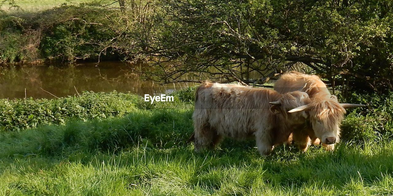 grass, mammal, animal themes, domestic animals, field, highland cattle, nature, no people, livestock, outdoors, growth, beauty in nature, day, cow, green color, water, tree