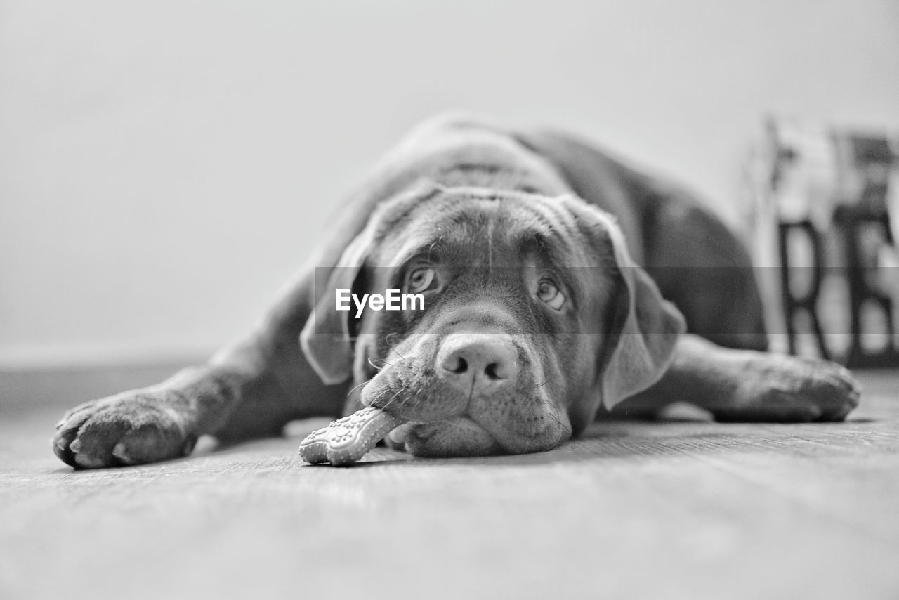 canine, dog, one animal, domestic, pets, animal themes, domestic animals, animal, mammal, relaxation, lying down, selective focus, vertebrate, indoors, portrait, close-up, resting, looking, no people, surface level, animal head