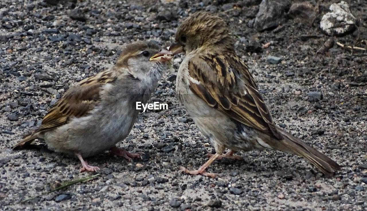 bird, animal themes, two animals, animals in the wild, female animal, young bird, day, sparrow, animal wildlife, outdoors, no people, togetherness, young animal, close-up, nature