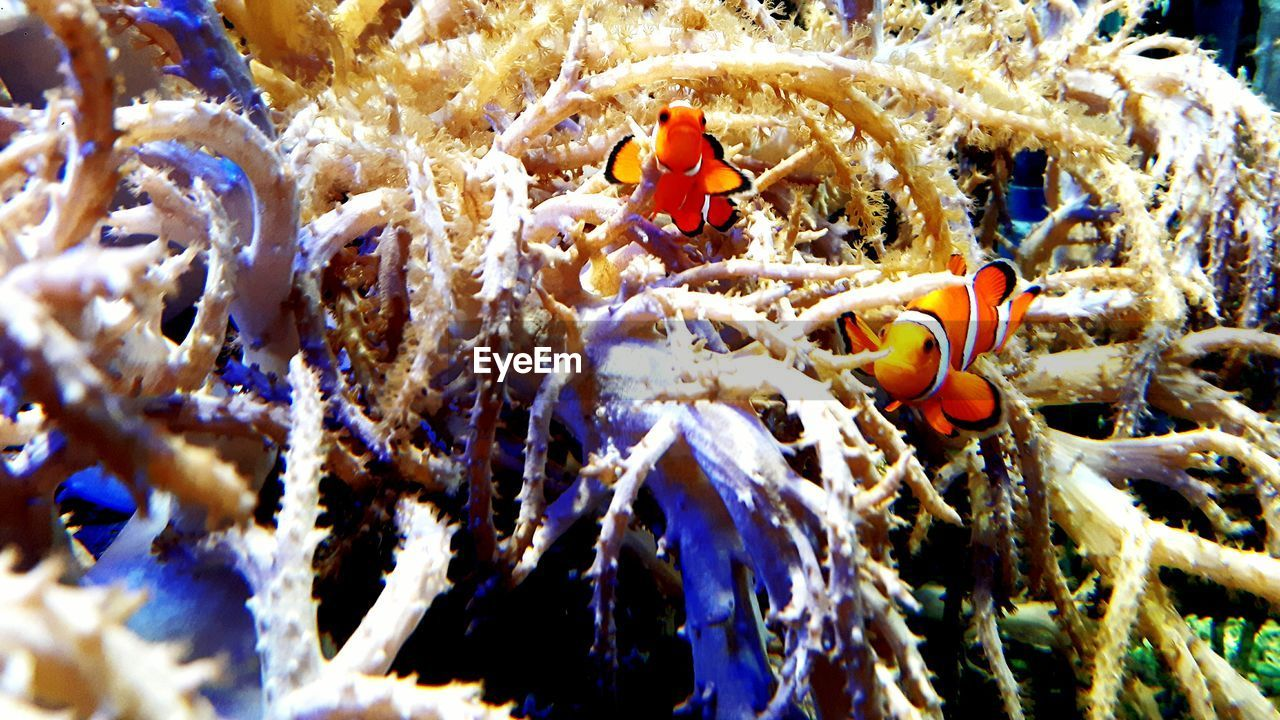 underwater, animal themes, animals in the wild, sea life, no people, undersea, animal wildlife, water, sea, coral, nature, clown fish, close-up, swimming, day, sea anemone, outdoors