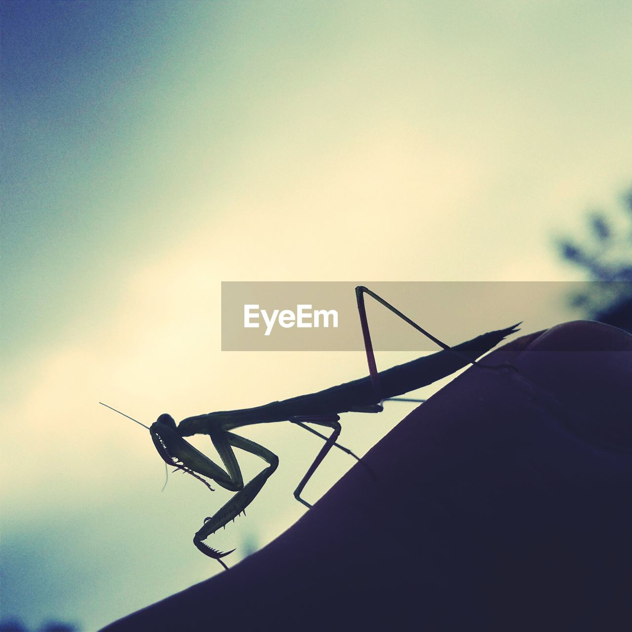 Silhouette Of Praying Mantis