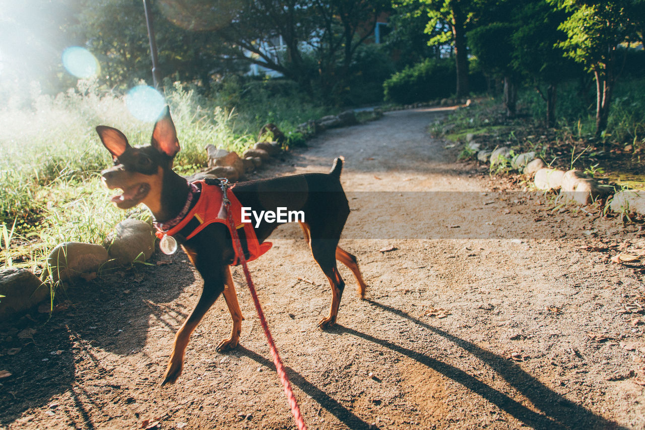 Doberman Pinscher On Footpath During Sunny Day