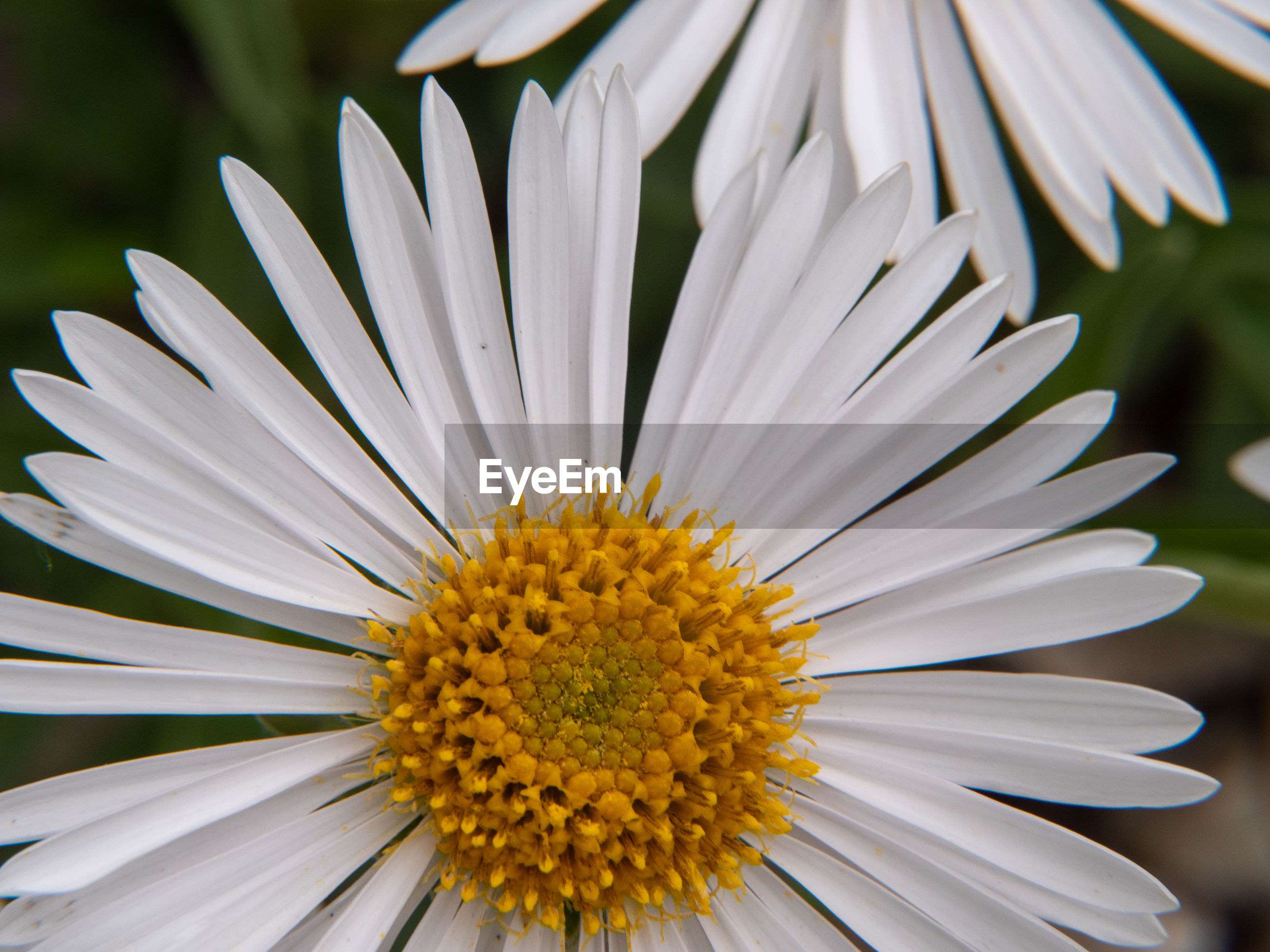 CLOSE-UP OF WHITE DAISY WITH YELLOW FLOWER