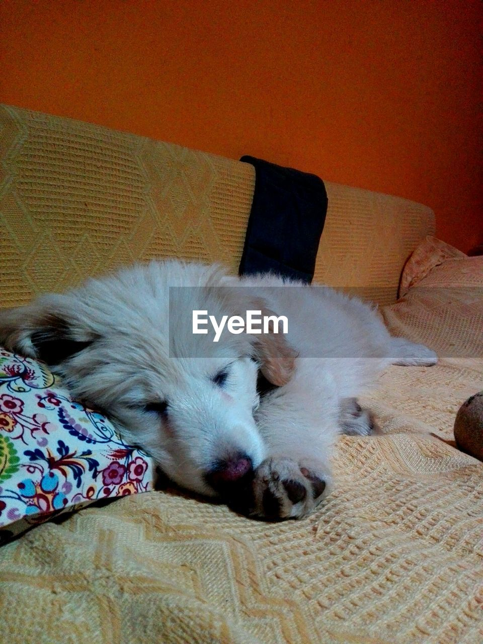 dog, pets, relaxation, sofa, cute, indoors, sleeping, home interior, comfortable, mammal, domestic animals, one animal, lying down, animal themes, no people, day