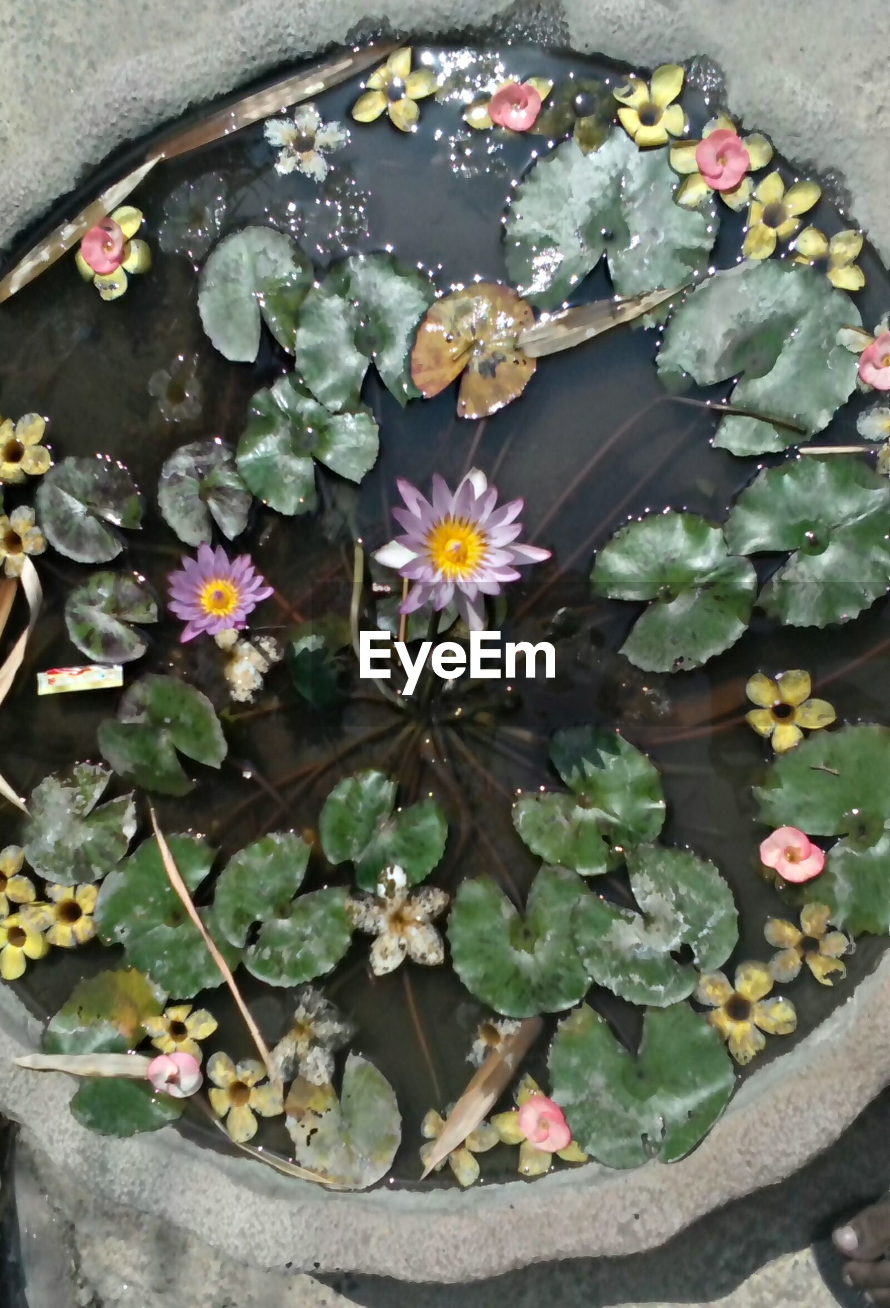 flower, petal, freshness, fragility, high angle view, leaf, water lily, floating on water, pond, flower head, water, plant, growth, beauty in nature, blooming, nature, pink color, lotus water lily, in bloom, potted plant