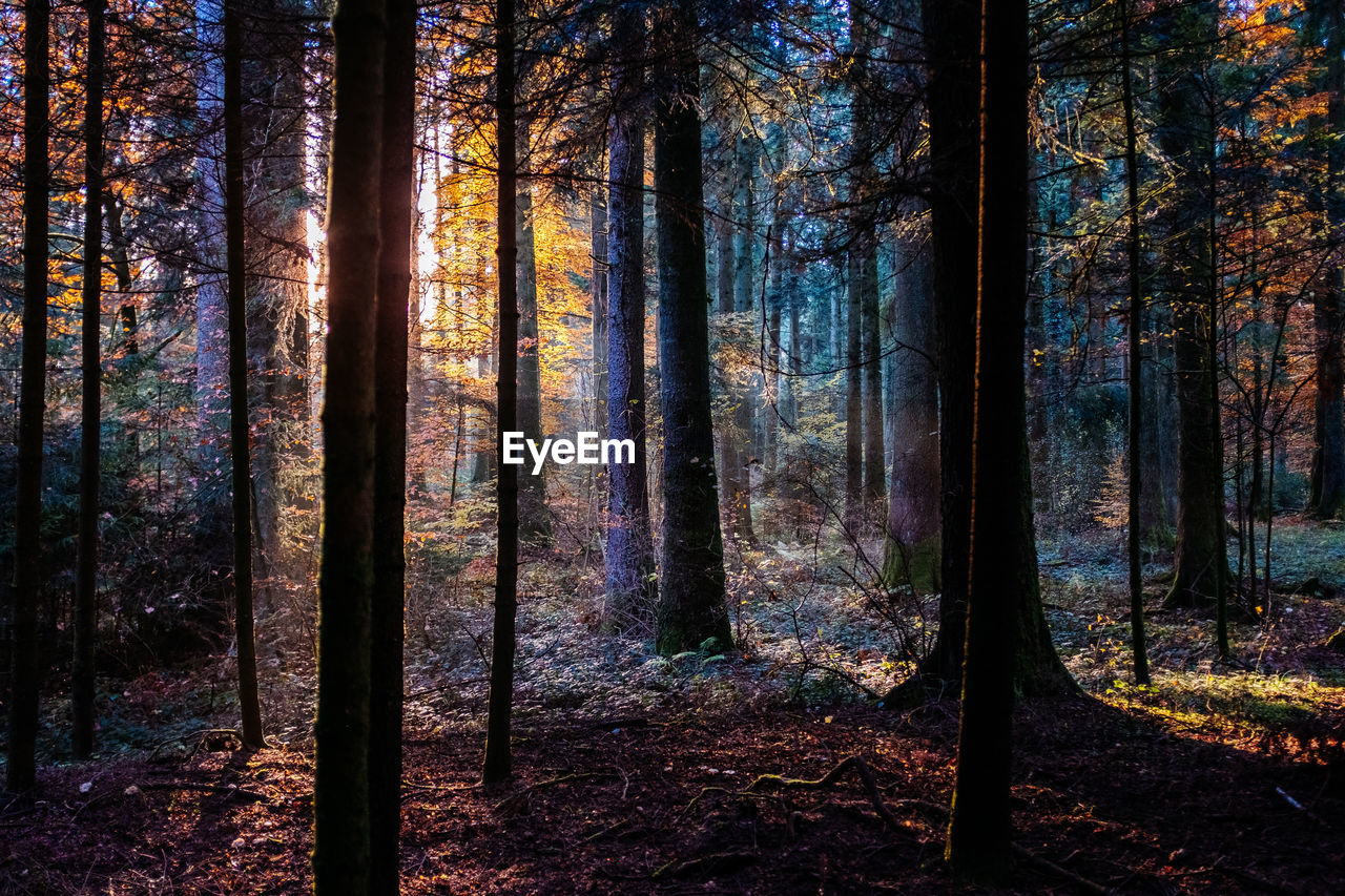 tree, forest, land, plant, trunk, tree trunk, woodland, beauty in nature, growth, nature, tranquil scene, scenics - nature, non-urban scene, tranquility, no people, day, landscape, environment, sunlight, autumn, outdoors, change