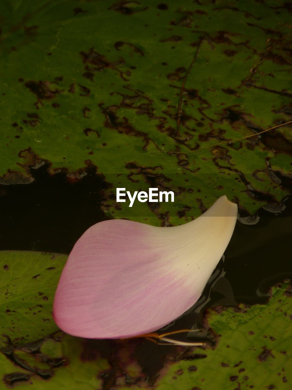 flower, nature, fragility, beauty in nature, plant, petal, growth, flower head, no people, close-up, leaf, outdoors, day, freshness, lily pad
