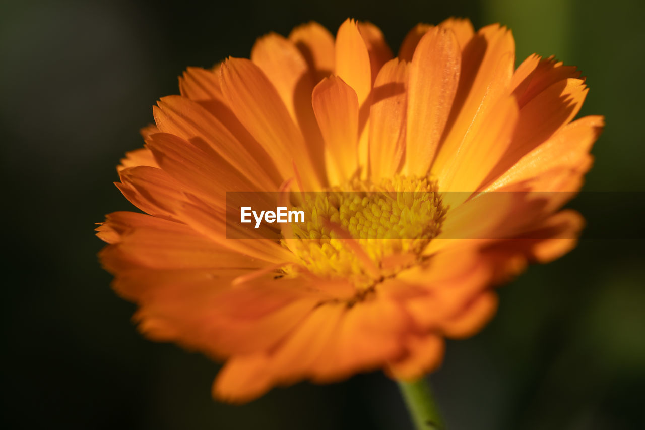 flowering plant, flower, fragility, vulnerability, freshness, petal, flower head, beauty in nature, plant, inflorescence, close-up, growth, pollen, orange color, nature, selective focus, no people, focus on foreground, yellow, black background, gazania