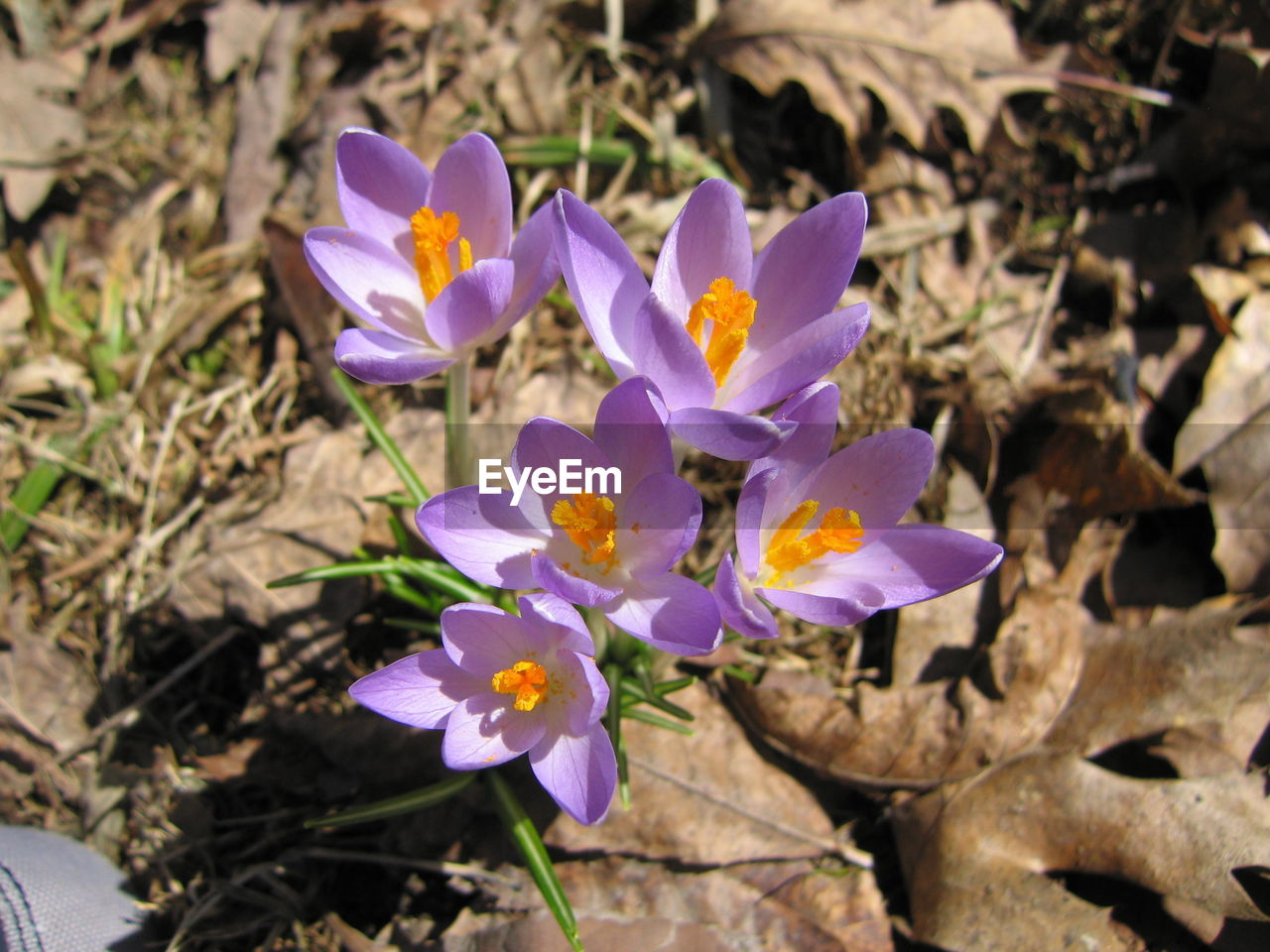 flower, petal, fragility, nature, growth, plant, purple, flower head, beauty in nature, no people, freshness, blooming, outdoors, day, crocus, close-up