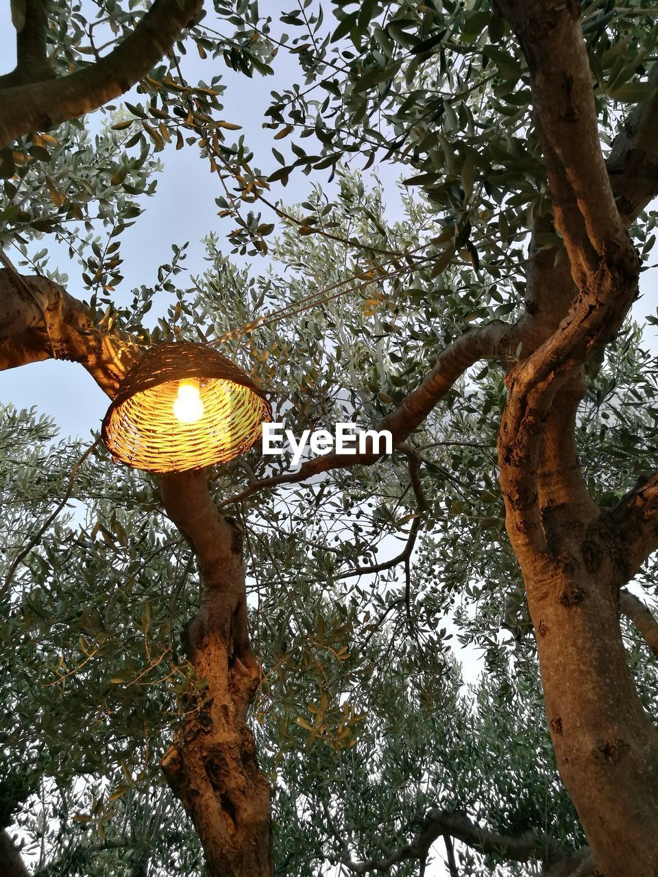 Low angle view of illuminated light bulb hanging from olive tree