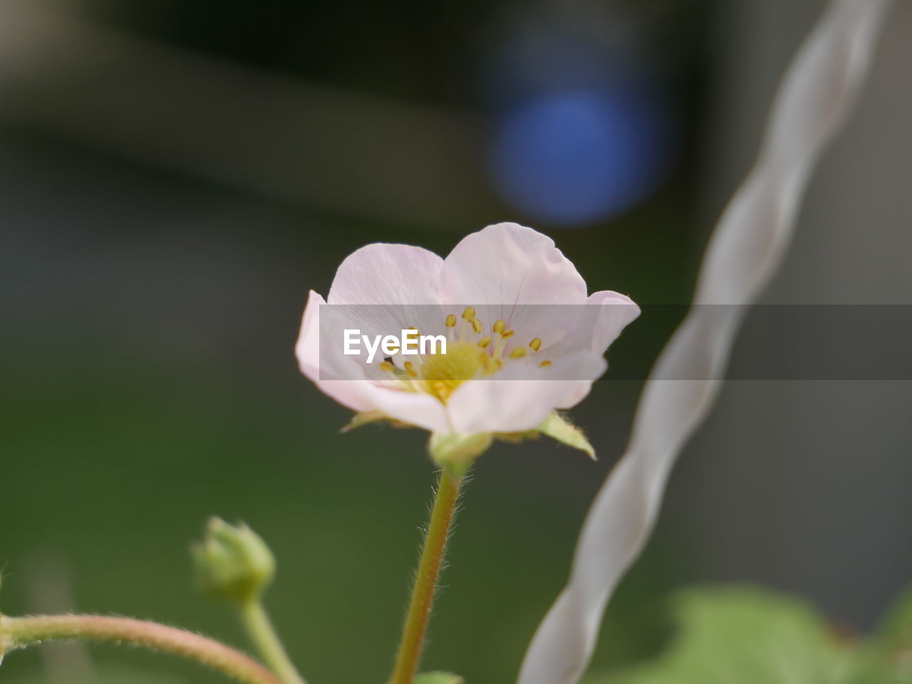 flower, petal, fragility, freshness, growth, nature, beauty in nature, flower head, close-up, white color, plant, focus on foreground, day, no people, outdoors, blooming
