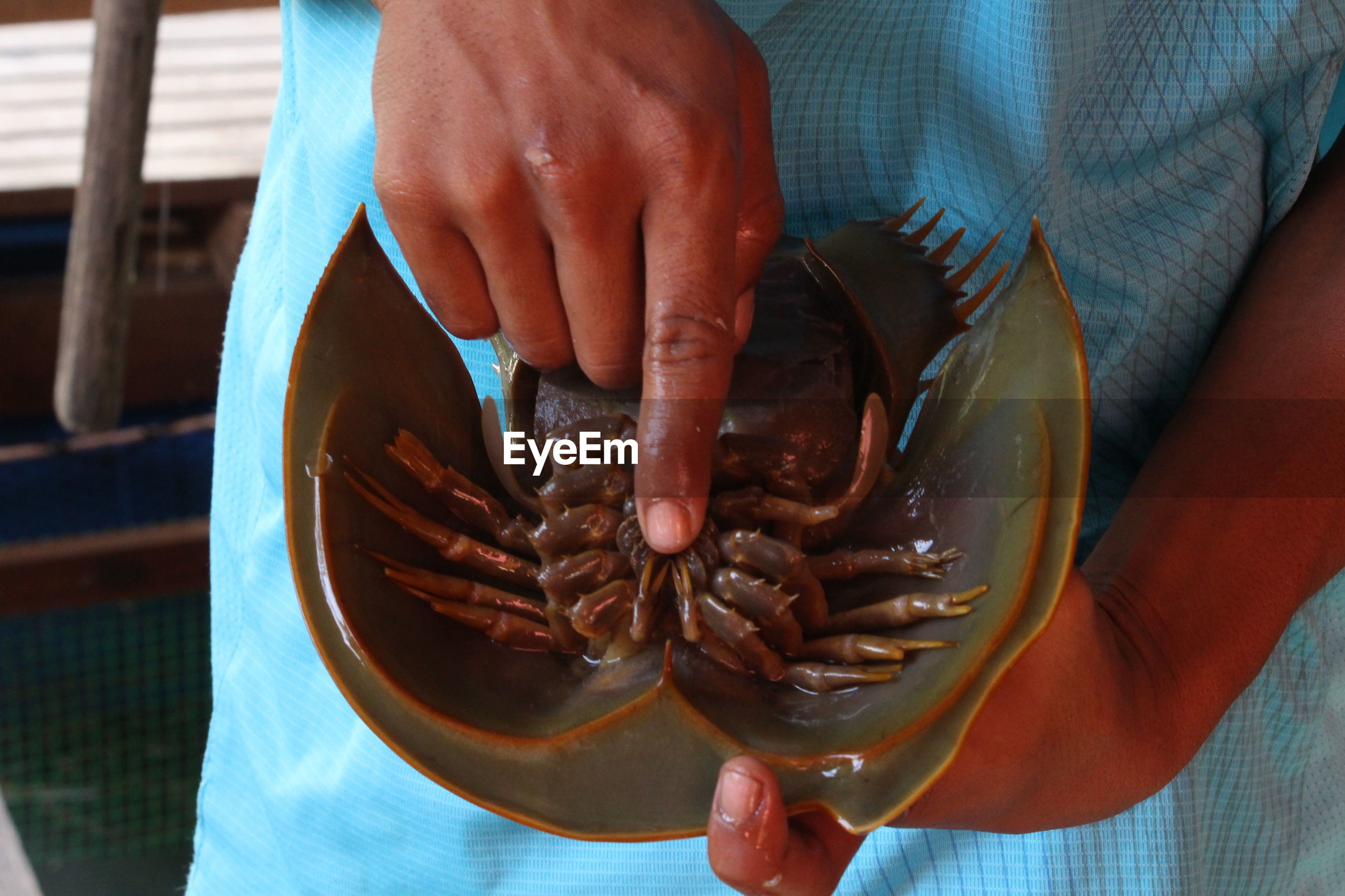 Midsection of man holding horseshoe crab