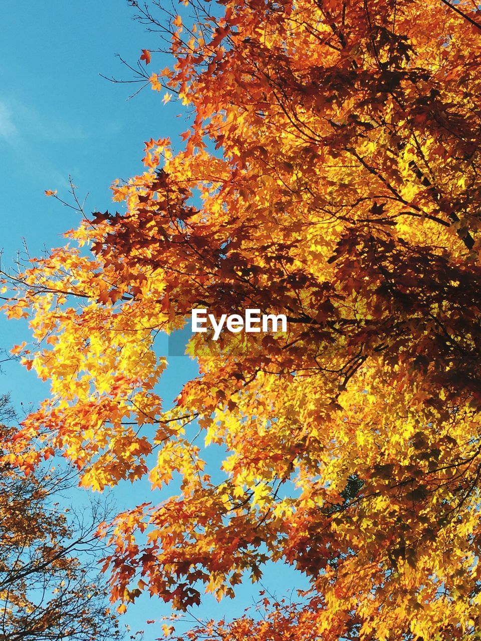 autumn, change, tree, leaf, nature, low angle view, maple tree, beauty in nature, branch, growth, orange color, outdoors, day, no people, maple leaf, sky, maple, close-up