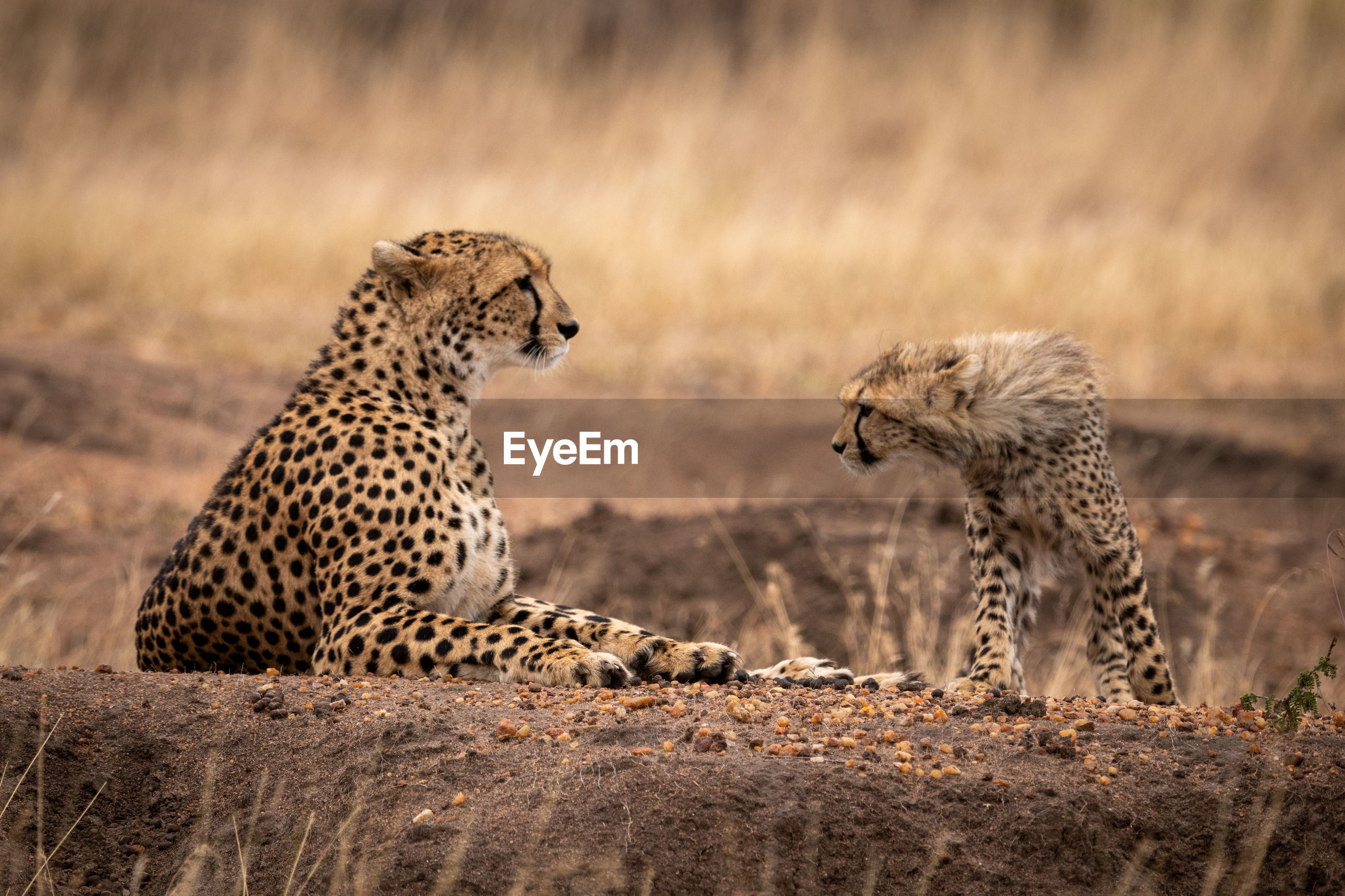 Cheetahs on field in forest