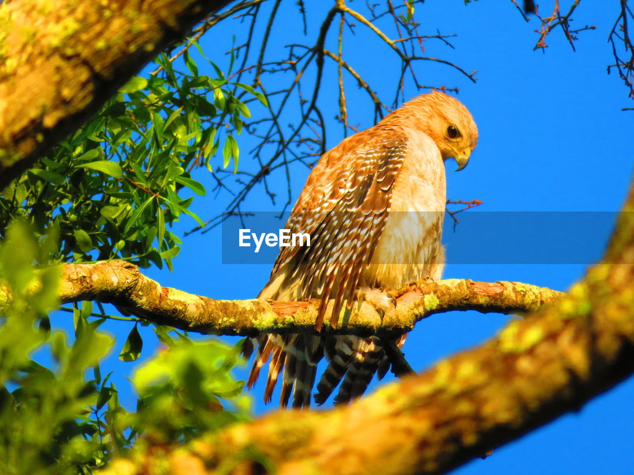 animal, animal themes, bird, vertebrate, animal wildlife, animals in the wild, branch, one animal, perching, plant, tree, low angle view, nature, day, selective focus, sky, no people, bird of prey, blue, outdoors, eagle