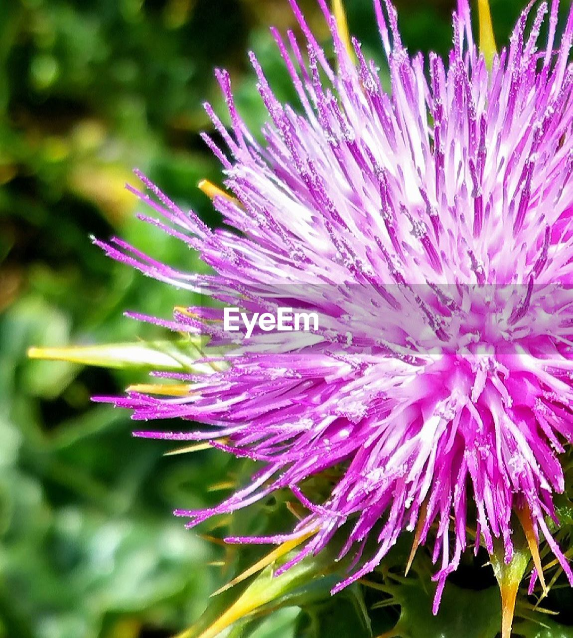 flower, fragility, beauty in nature, nature, purple, petal, growth, freshness, plant, flower head, no people, day, outdoors, close-up, blooming