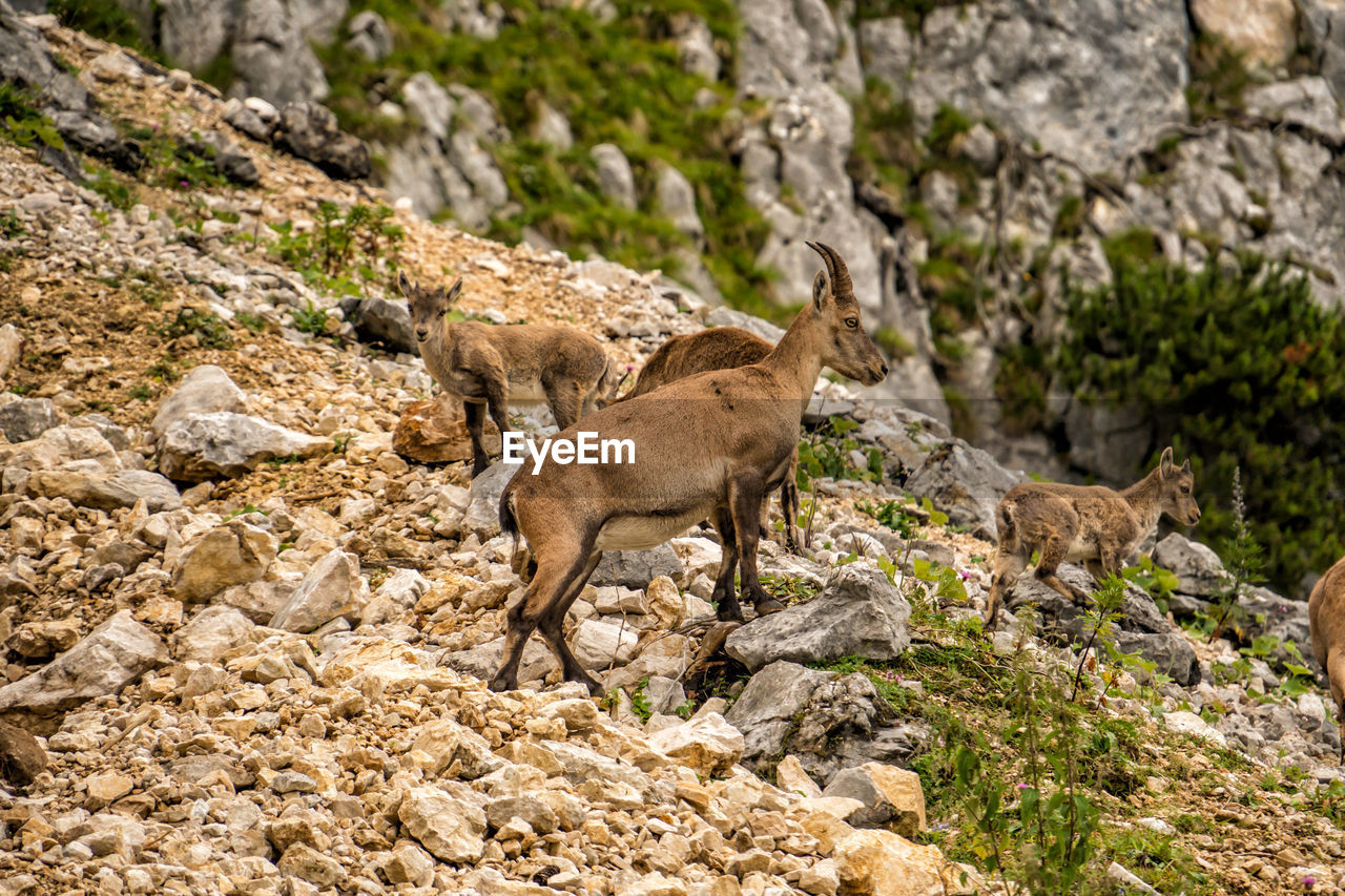 animal, mammal, animal themes, rock, animal wildlife, solid, rock - object, animals in the wild, no people, group of animals, nature, vertebrate, day, full length, two animals, outdoors, land, standing, side view, herbivorous, formation