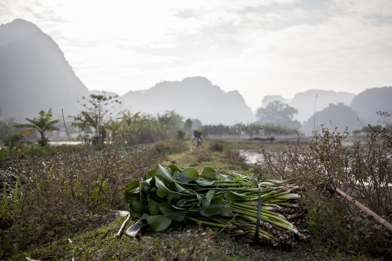 Low Angle View Of Plant Against Field And Mountains