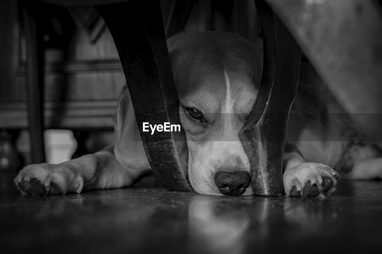 one animal, dog, canine, pets, animal, domestic, domestic animals, animal themes, mammal, vertebrate, selective focus, relaxation, indoors, flooring, portrait, lying down, no people, surface level, resting, close-up, animal head