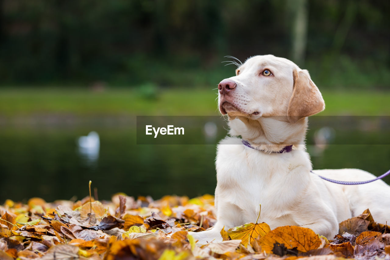 Close-Up Of Dog Sitting On Autumn Leaves At Park