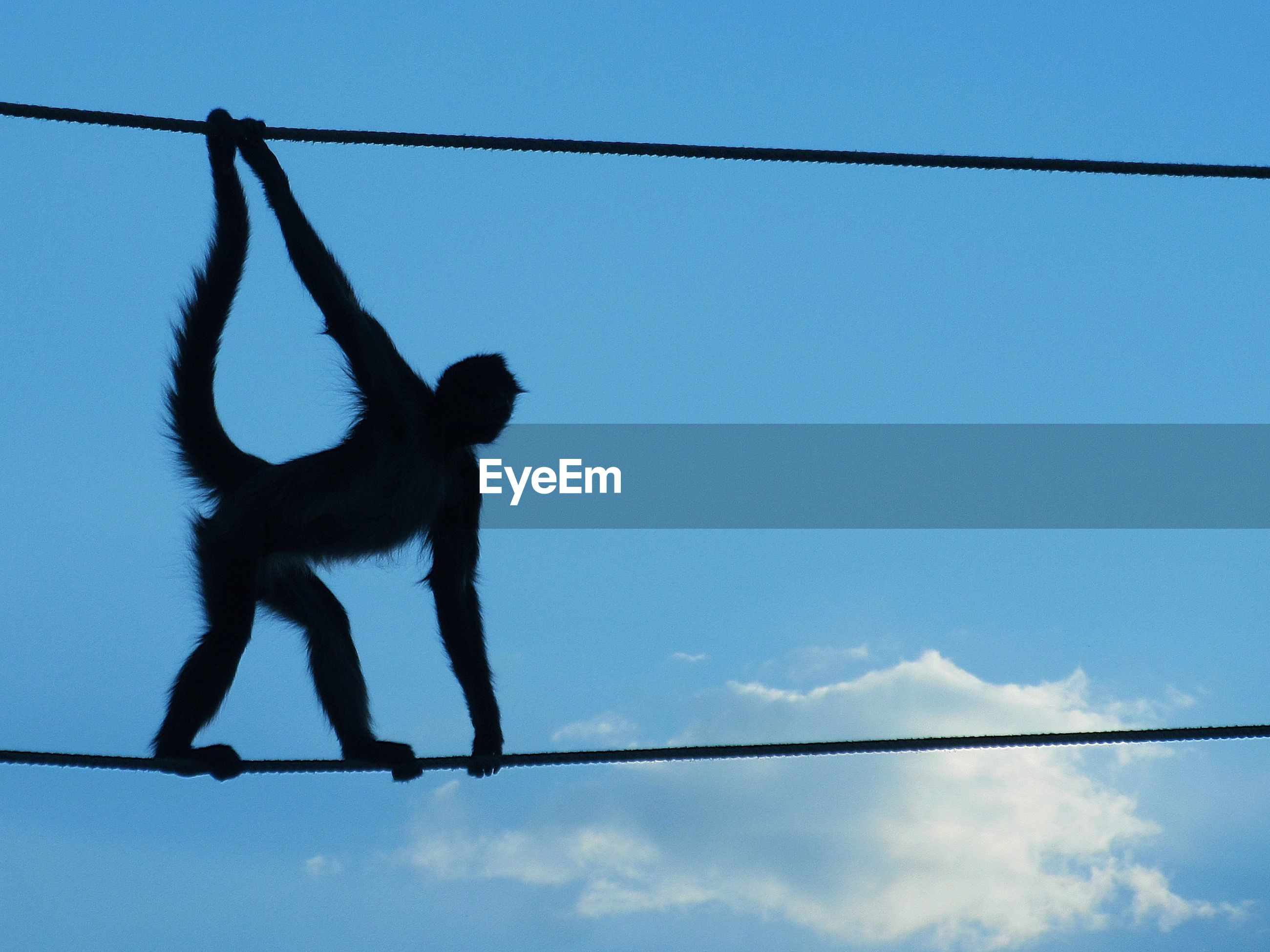 Silhouette monkey standing on rope against sky
