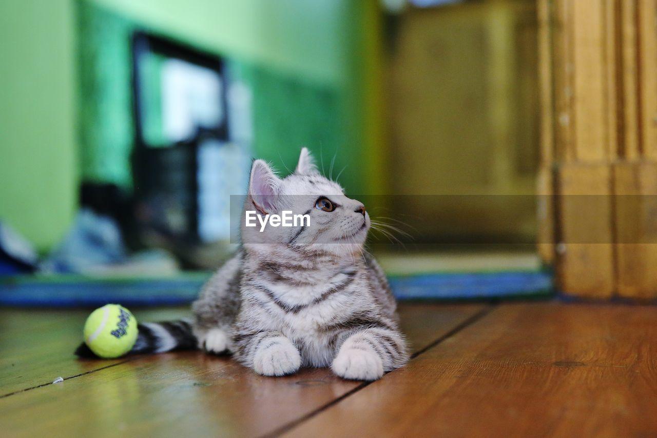 Kitten Sitting On Hardwood Floor