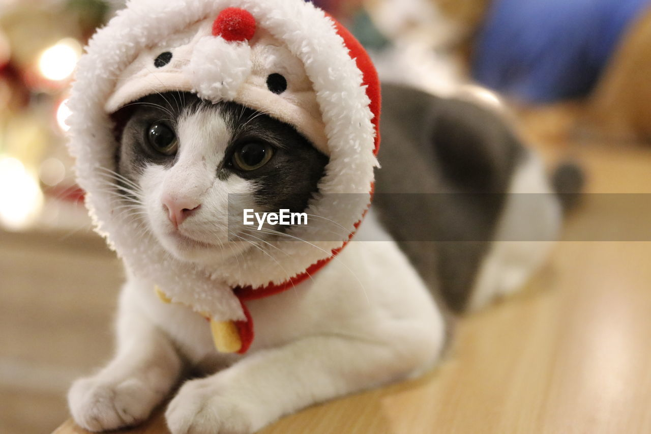 animal themes, animal, mammal, pets, domestic animals, domestic, one animal, focus on foreground, indoors, close-up, vertebrate, portrait, looking at camera, celebration, cat, holiday, feline, christmas, home interior, no people, flooring, whisker, animal head