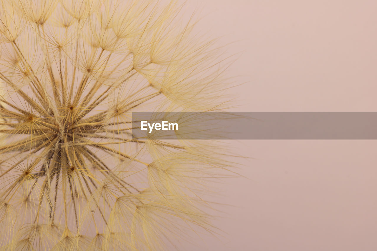 flower, flowering plant, close-up, dandelion, fragility, studio shot, vulnerability, plant, beauty in nature, no people, freshness, sky, nature, flower head, copy space, dandelion seed, inflorescence, seed, softness