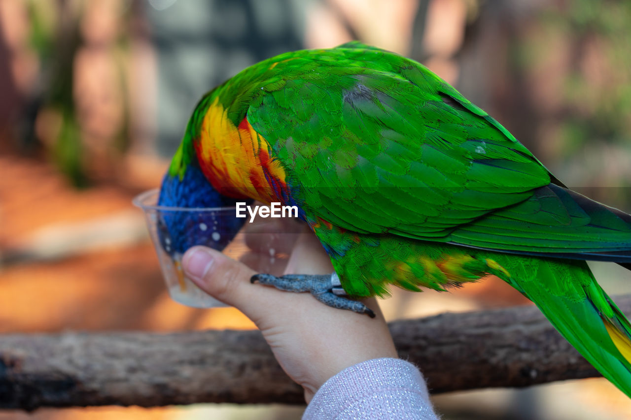 hand, human hand, holding, real people, parrot, one person, focus on foreground, animal wildlife, vertebrate, unrecognizable person, bird, human body part, lifestyles, green color, animals in the wild, leisure activity, one animal, body part, rainbow lorikeet, outdoors, finger, human limb