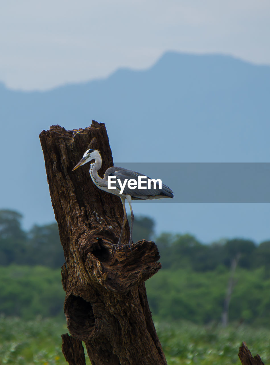 tree, plant, focus on foreground, nature, sky, mountain, no people, animal themes, tree trunk, day, trunk, tranquility, bird, animal, vertebrate, animals in the wild, outdoors, scenics - nature, close-up, animal wildlife, bark, wooden post