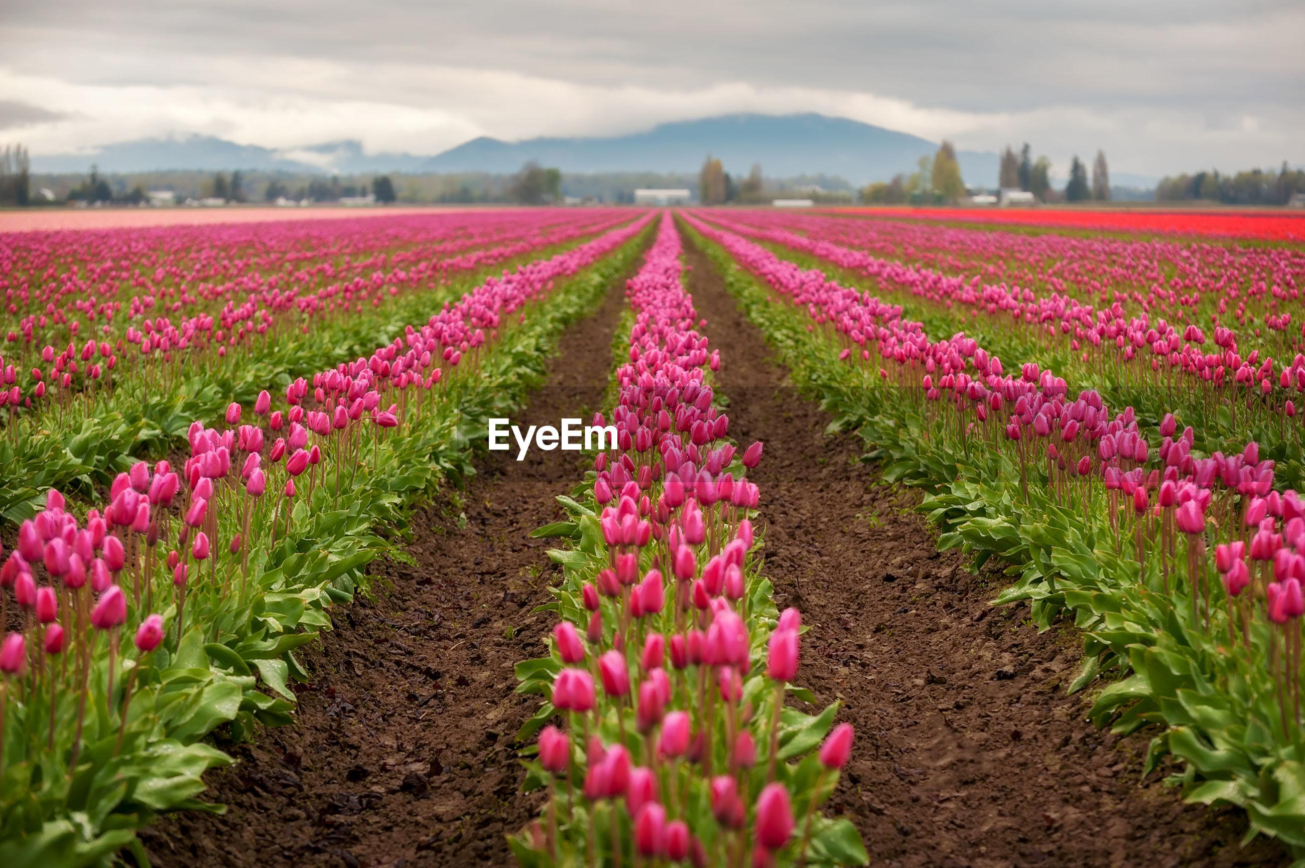 FRESH PINK FLOWERS IN FIELD