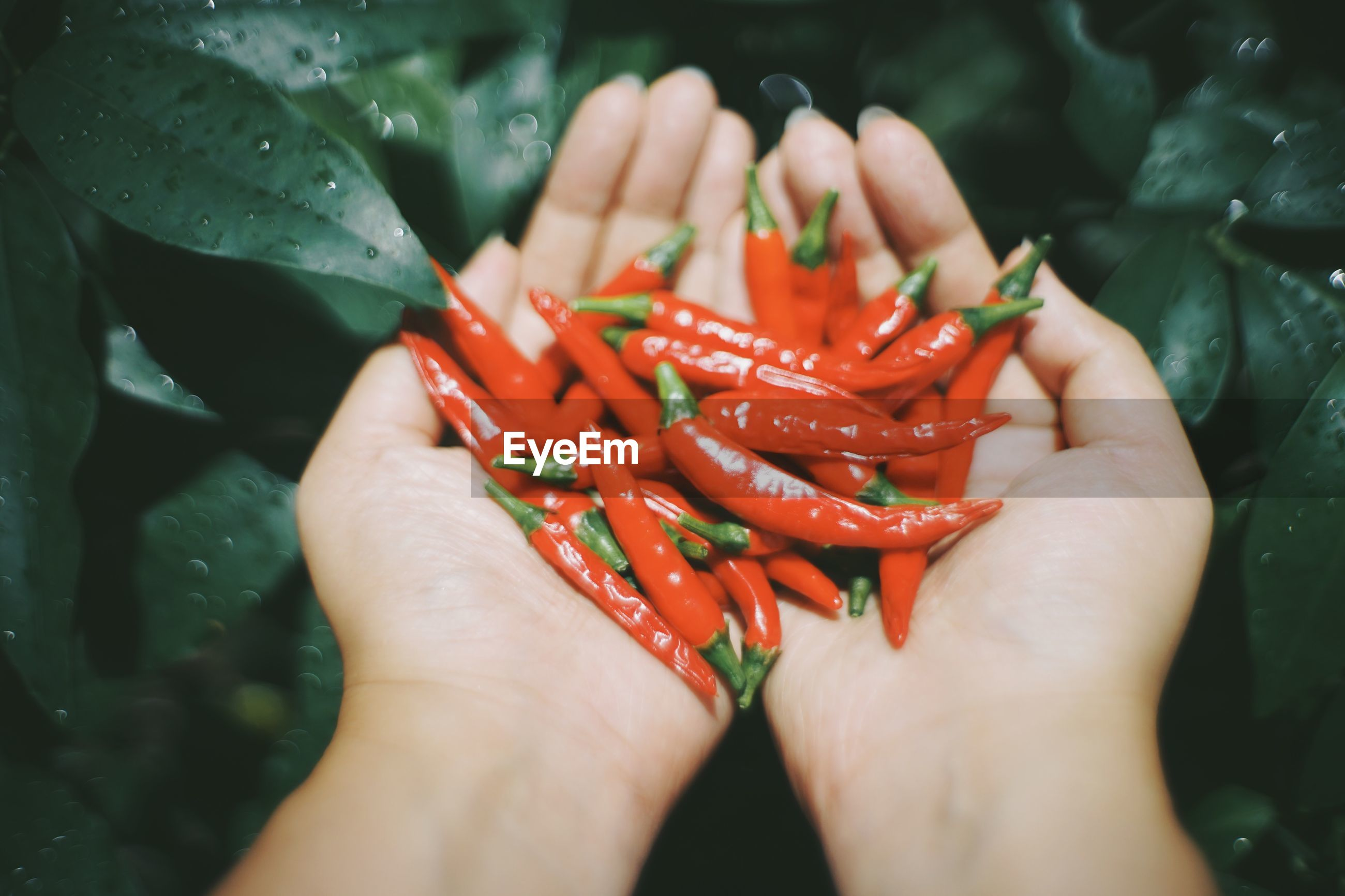 Close-up of hand holding red chili