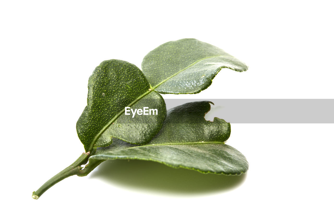 Close-Up Of Leaf Over White Background