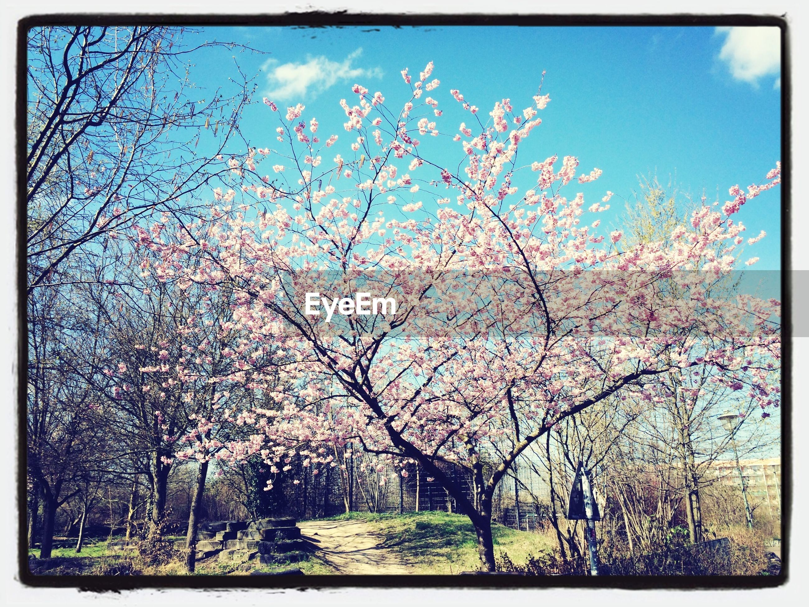 flower, transfer print, tree, growth, auto post production filter, sky, beauty in nature, branch, freshness, nature, blossom, fragility, low angle view, blooming, cherry blossom, in bloom, springtime, park - man made space, day, outdoors