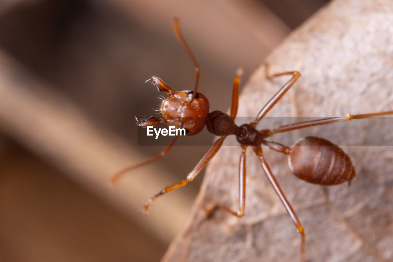 animal themes, insect, invertebrate, animals in the wild, animal, animal wildlife, close-up, one animal, no people, selective focus, animal body part, day, focus on foreground, animal antenna, nature, red, brown, zoology, outdoors, ant, animal eye