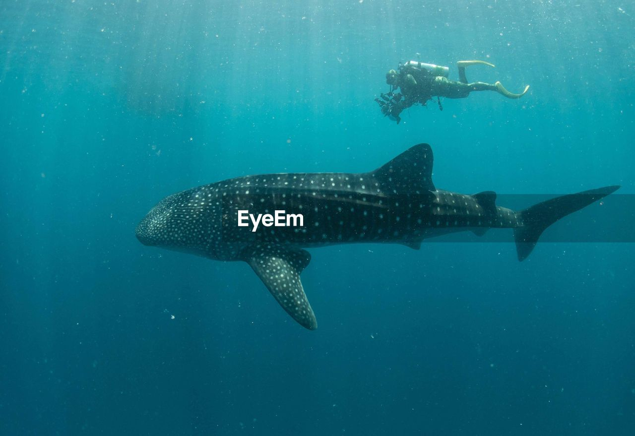 View Of Scuba Diver Swimming With Whale Shark