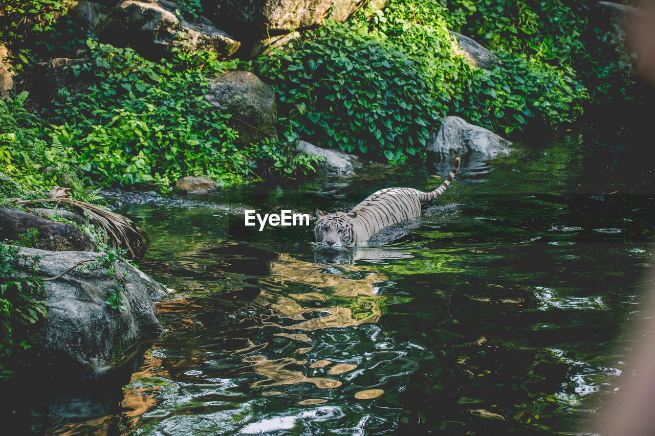 animal themes, water, animal, one animal, animals in the wild, animal wildlife, nature, vertebrate, day, no people, mammal, solid, rock, lake, rock - object, waterfront, swimming, plant, tree, drinking