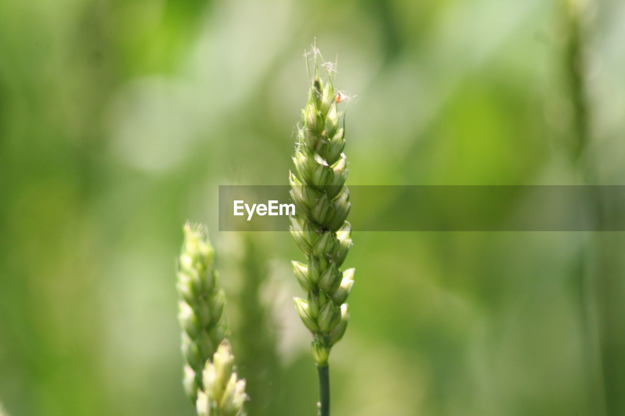 growth, plant, green color, beauty in nature, close-up, nature, focus on foreground, day, no people, tranquility, outdoors, vulnerability, selective focus, fragility, freshness, field, crop, agriculture, beginnings, rural scene