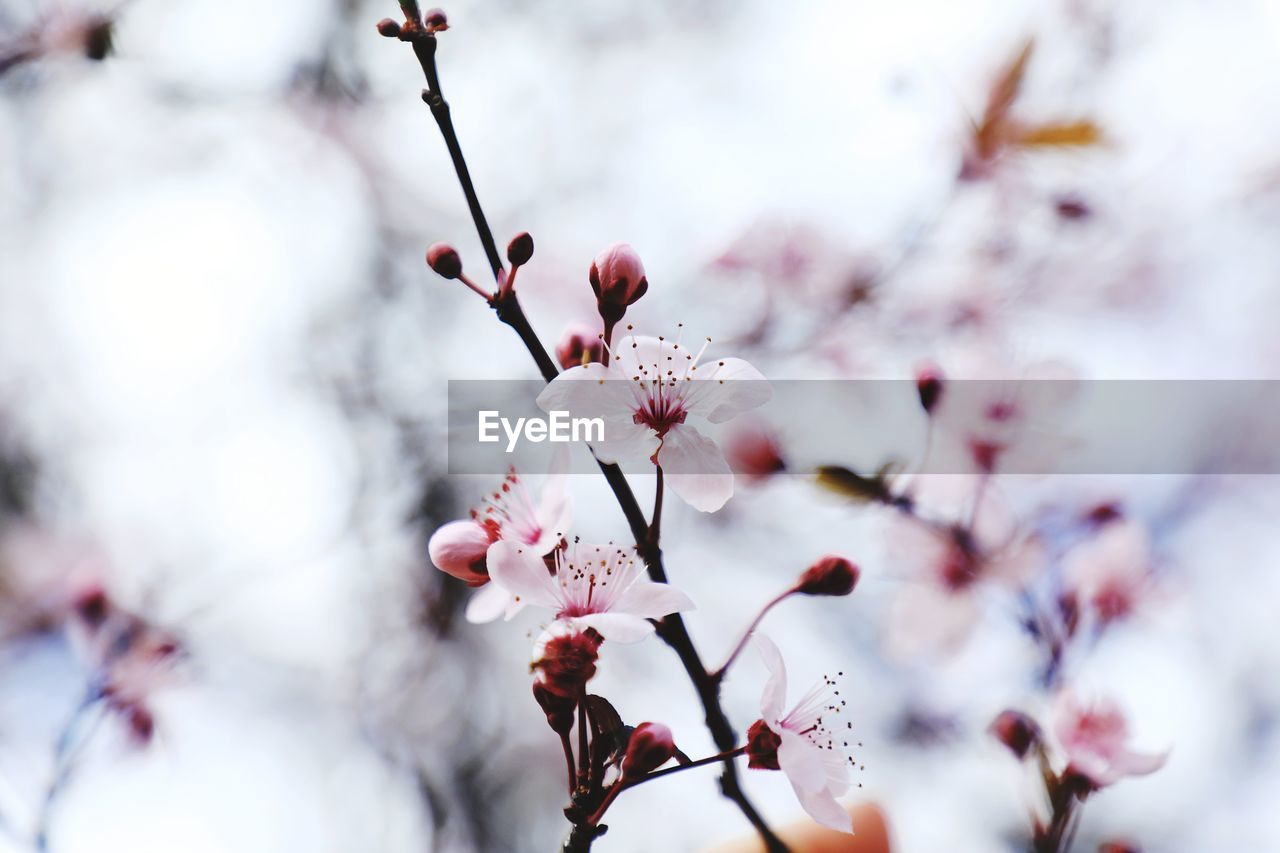 flower, flowering plant, plant, freshness, fragility, growth, vulnerability, beauty in nature, tree, blossom, branch, close-up, springtime, selective focus, no people, cherry blossom, nature, day, petal, white color, pink color, plum blossom, outdoors, pollen, cherry tree, flower head, spring