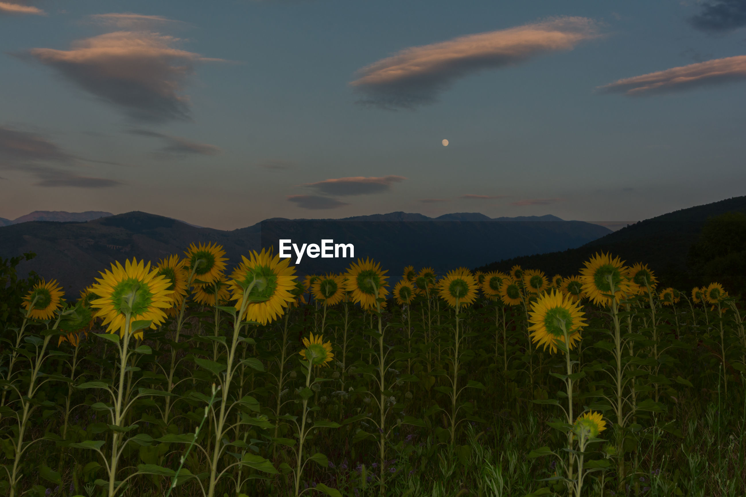 SCENIC VIEW OF SUNFLOWER FIELD AGAINST SKY DURING SUNRISE
