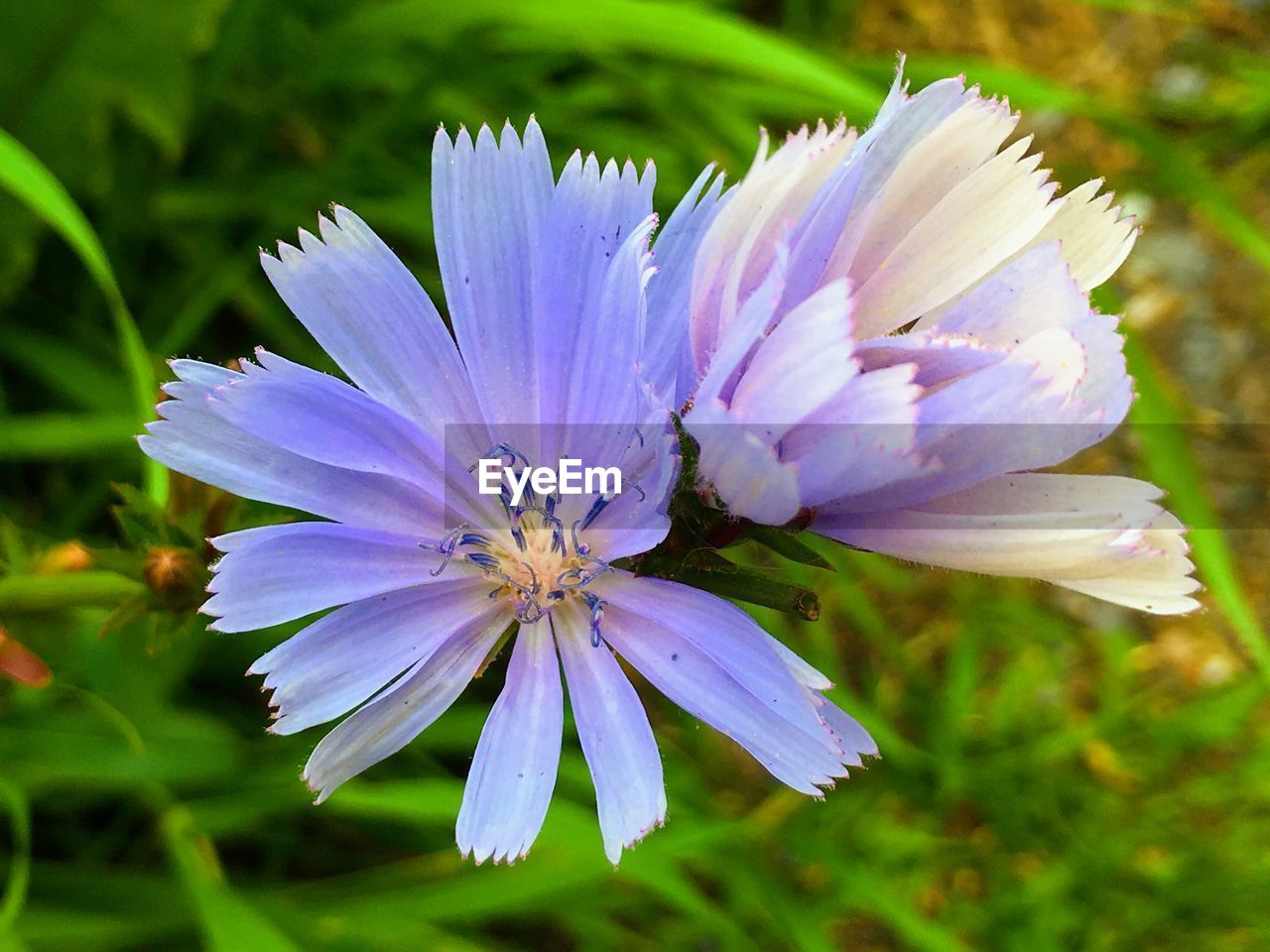 flowering plant, flower, petal, fragility, plant, freshness, vulnerability, beauty in nature, flower head, growth, inflorescence, close-up, purple, nature, pollen, focus on foreground, no people, day, outdoors