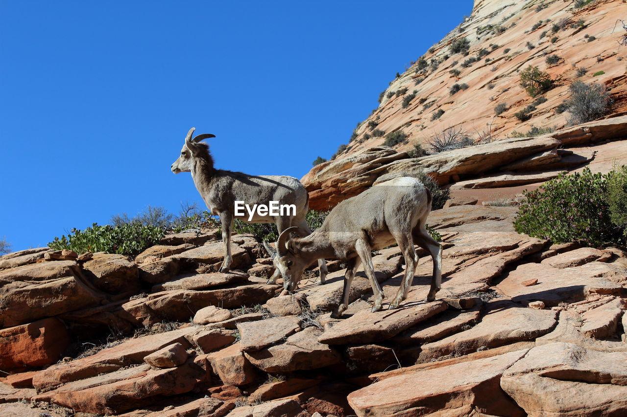 Goats On Rocky Mountain Against Clear Blue Sky